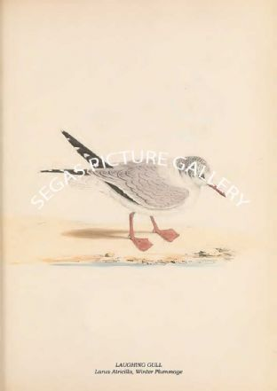 LAUGHING GULL - Larus Atricilla, Winter Plummage